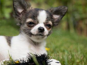 Kistestű kutya